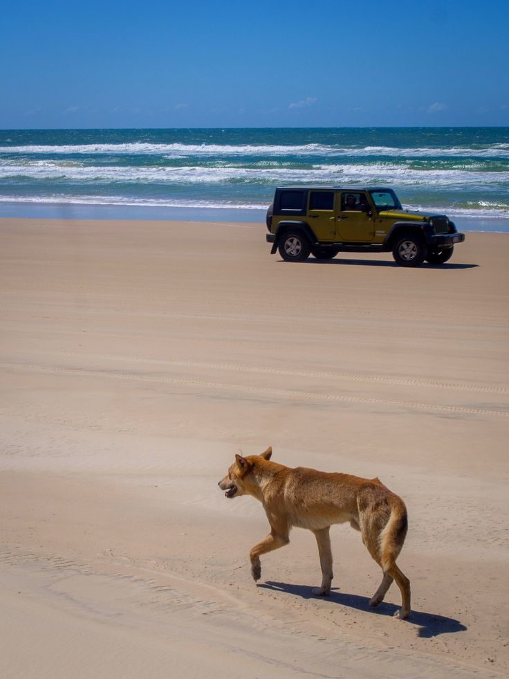 Dingo on the beach, 75 Miles Beach, Frazer Island