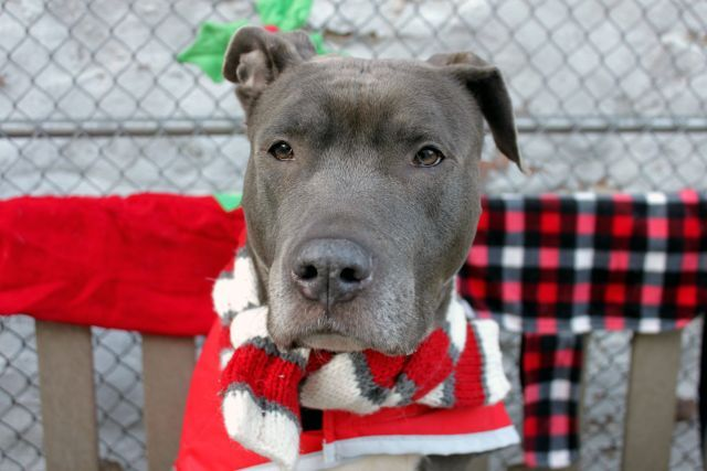 ALABAMA TO BE DESTROYED‼️ 12/27/16 - Urgent Manhattan - ALABAMA - #A1099756 - FEMALE GRAY/WHITE PIT BULL MIX, 3 Yrs - STRAY - ONHOLDHERE, HOLD FOR ID Reason STRAY - Intake 12/15/16 Due Out 12/18/26 - LARGE SCARS SCAPULA TO TRUNK - TENSE AND NERVOUS IN CAGE, GROWLING AND MAKING HARD EYE CONTACT, UNWILLING TO MOVE ONCE OUT OF CAGE, BODY SHAKING, WOULD LUNGE
