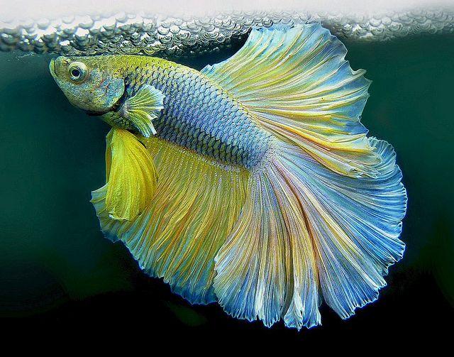 Nid de bulle du poisson combattant