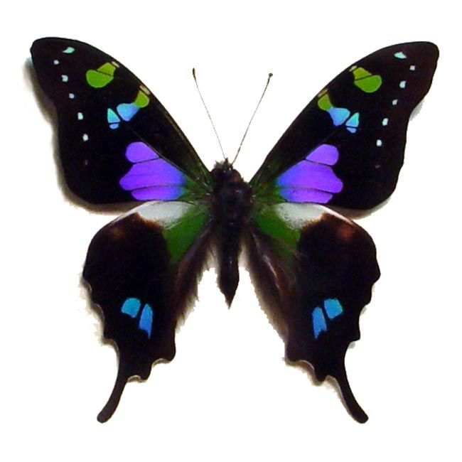 Purple spotted swallowtail - photo#1