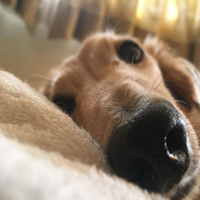 ・ 『視線♡』 ・ ・ 目が覚めて ふと横見たら… ・ ・ 起きてたw しかも、目開いてたw🤣 ・ ・ おはよ❤︎ ・ ・ #Mダックス#ミニチュアダックスフント #ミニチュアダックス#犬好き#犬ラブ #犬#愛犬#シニア犬#癒し#わんこ#love  #犬好きな人と繋がりたい#里親 #dog#perro #miniature dachshund #perro salchicha #お目覚め#おはよう #見られてた#ぶさかわ