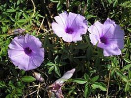 A ipoméia é resistente ao frio e possui um ciclo de via anual, além de belas colorações.