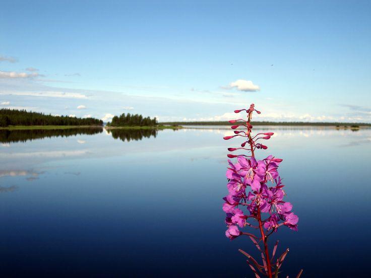 A flower in Finland