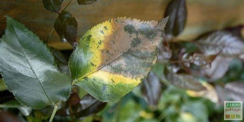 Que les rosiers en fleurs sont beaux :) ! Peut-être parmi les plus belles plantes du jardin d'ailleurs ! Le revers de la médaille de cette floraison exceptionnelle, c'est leur sensibilité aux maladies: pourriture des boutons, blanc du rosier, maladie des taches noires, rouille, mosaïque. Elles sont nombreuses ! 5 maladies des rosiers, leurs symptômes et leurs solutions (bio) décryptées pour vous ! http://www.jardipartage.fr/maladie-des-rosiers/