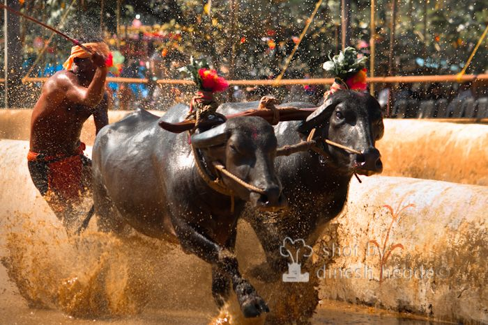 Kambala: The race of the buffaloes
