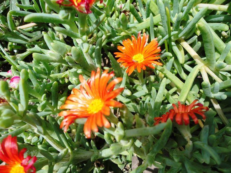 Rayito de sol naranja (Lampranthus calcaratus)