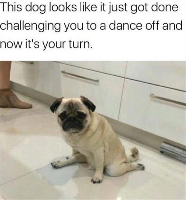 Pugs | Funny Animals | Animal Memes