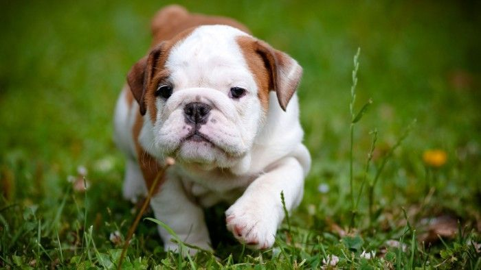 Walking English Bulldog Puppy With A White And Brown Coat And A