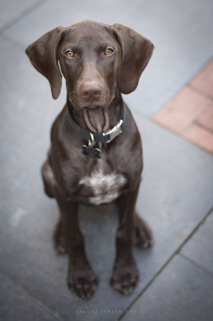 Hunter the German Shorthaired Pointer Puppy