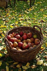 Apple harvest for apple crumble