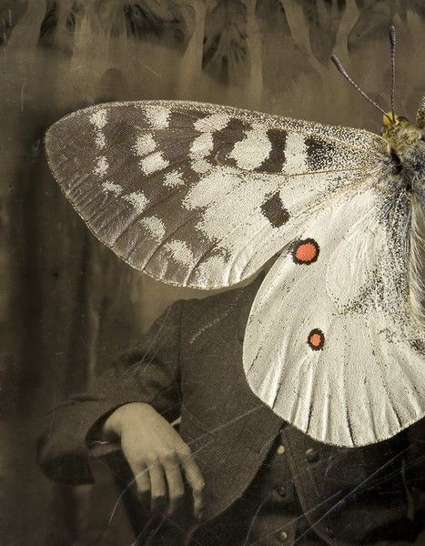 101: Parnassius apollo by Jo Whaley