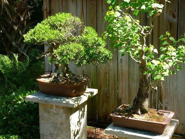 die besten 25 bonsai mexico ideen auf pinterest luftpflanzen aufh ngen bonsais und h galo. Black Bedroom Furniture Sets. Home Design Ideas