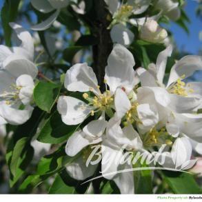 Spring Snow Crabapple - Malus x 'Spring Snow' | Bylands Nurseries Ltd.