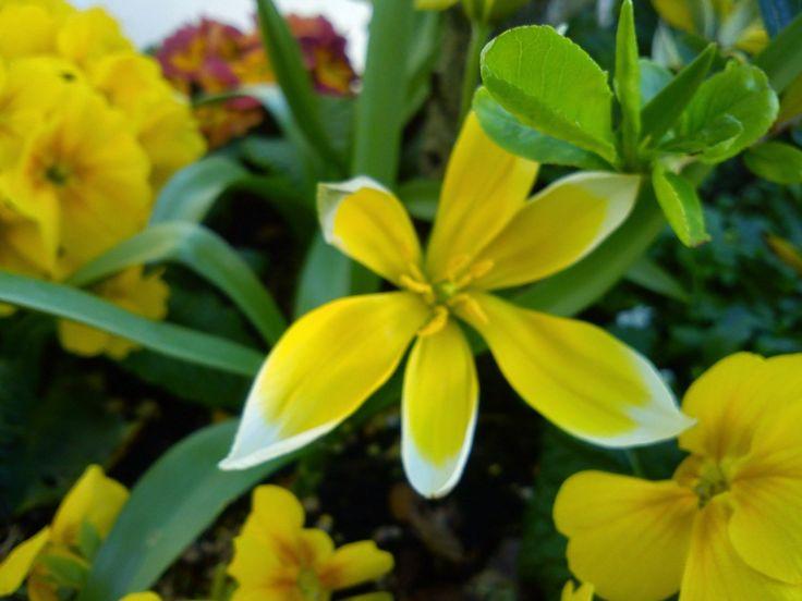 A delightful miniature tulip