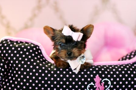Yorkie Teacup Puppy...awwww. She's too cute!
