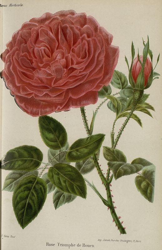 SNHF | Rose Triomphe de Rouen