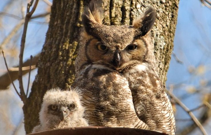 96 best Fuzzy Wuzzy Owls images on Pinterest | Barn owls ...