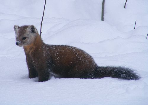 American Marten: A Michigan wildlife success story