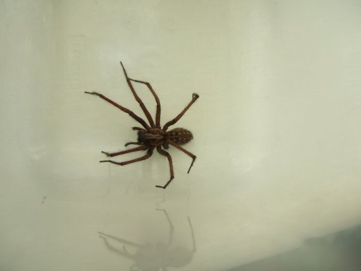 1000 images about natural spider repellent on pinterest Natural spider repellent