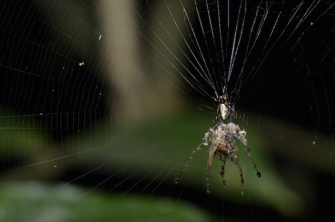 A spider that builds elaborate, fake spiders and hangs them in its web has been discovered in the Peruvian Amazon.