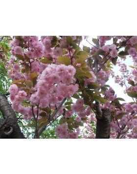 Prunus serrulata 'Kanzan' - Rózsaszín virágú japán díszcseresznye (extra méretű, koros)