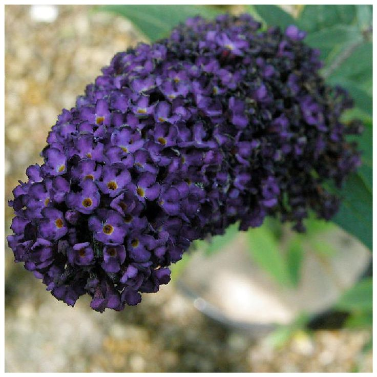 Check out the deal on Black Knight Butterfly Bush - 3 Pack at Growers Solution