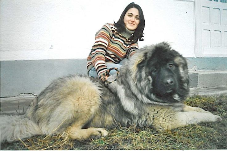 How Big Do Caucasian Mountain Dogs Get