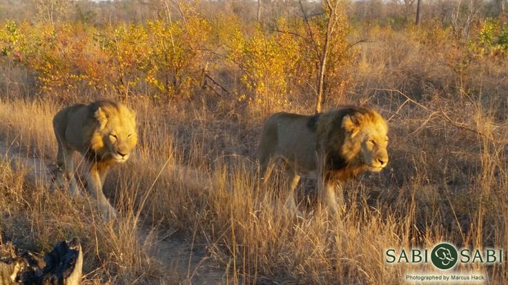 Two of the Sand River males were found scent marking in the south of the reserve this morning.