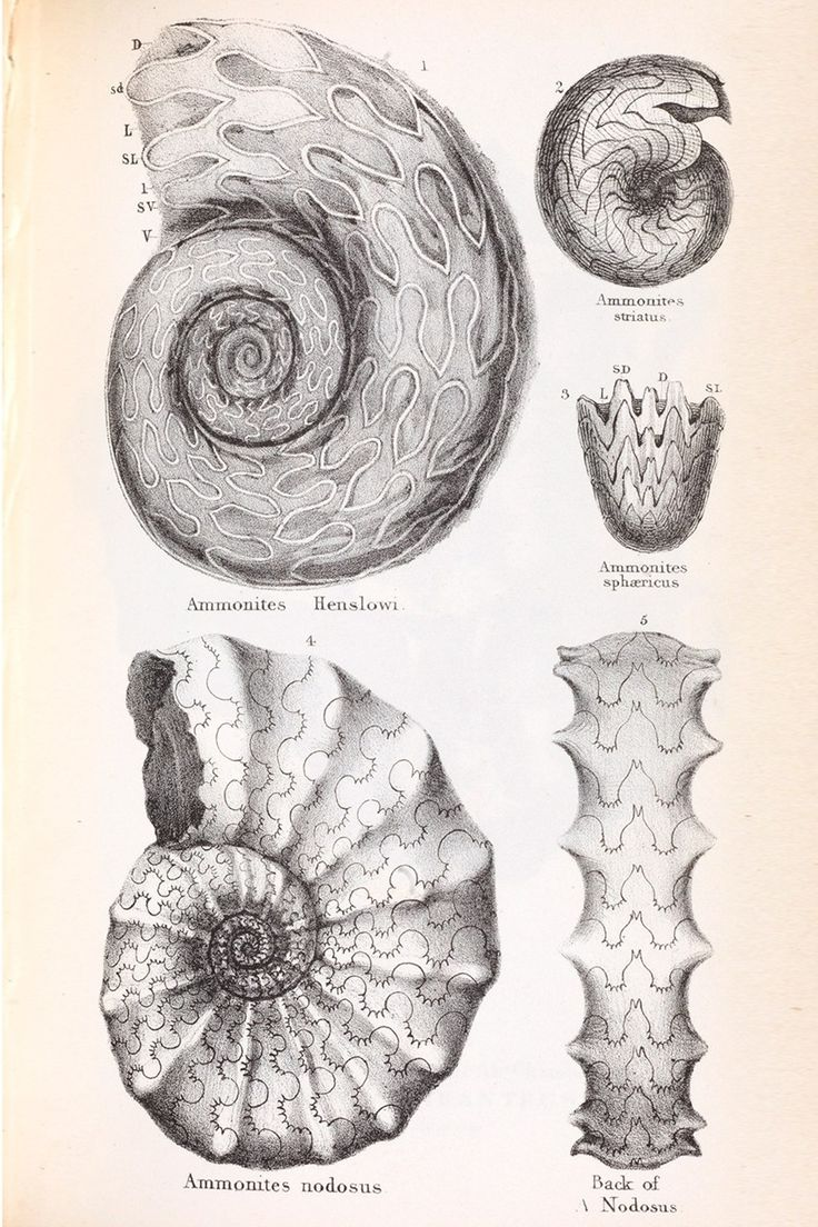 Ammonites From William Buckland FRS, Geology and Mineralogy Considered with Reference to Natural Theology (London, 1836), plate 40 The Royal Society