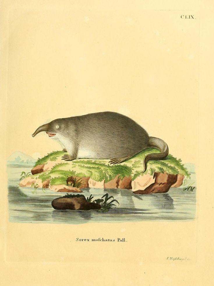 Die Säugthiere in Abbildungen nach der Natur : Schreber, Johann Christian Daniel, 1739-1810 : Free Download, Borrow, and Streaming – Amy Lavine