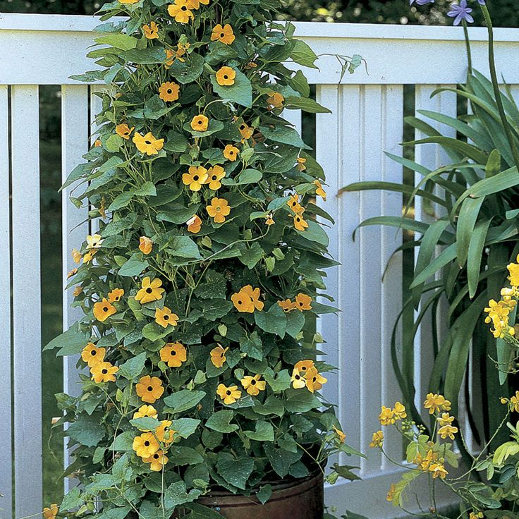 Black-Eyed Susan Vine : apparently good climber even in partial shade