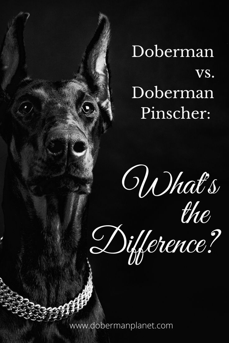 Doberman Vs Doberman Pinscher What S The Difference Doberman Planet In 2020 Doberman Breed Doberman Doberman Pinscher
