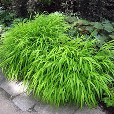 JAPANESE FOREST GRASS GREEN - Garden Express