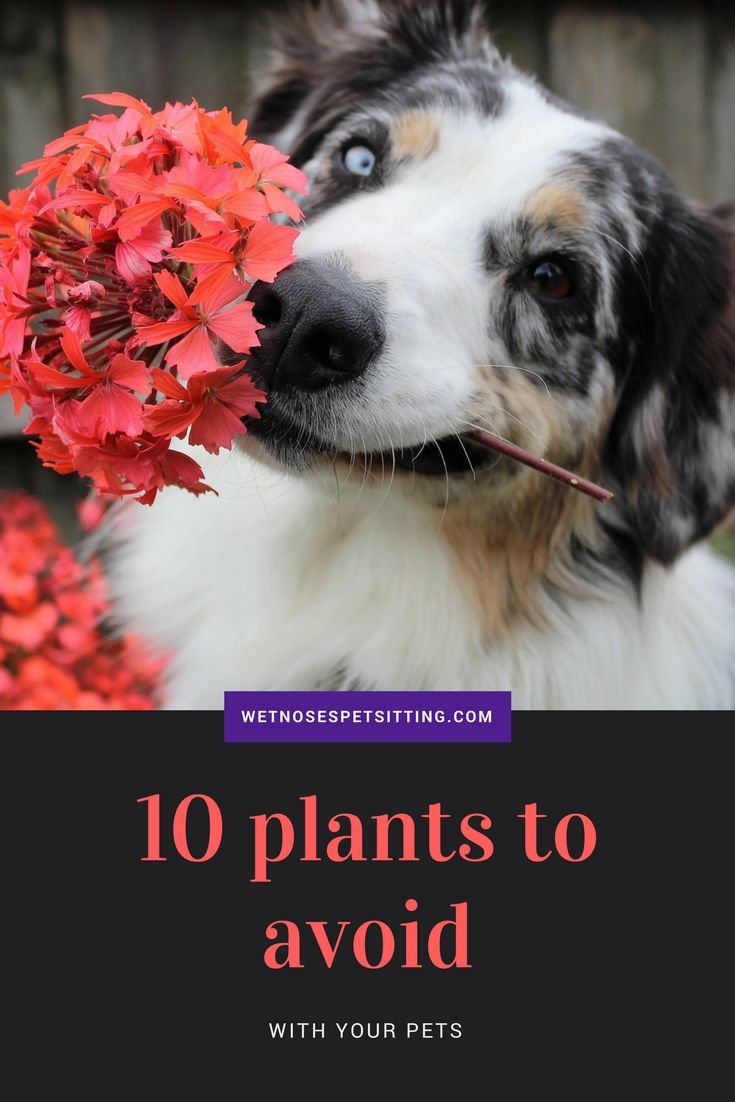 10 Plants To Avoid With Your Pets Pet Insurance For Dogs Pets Sick Dog