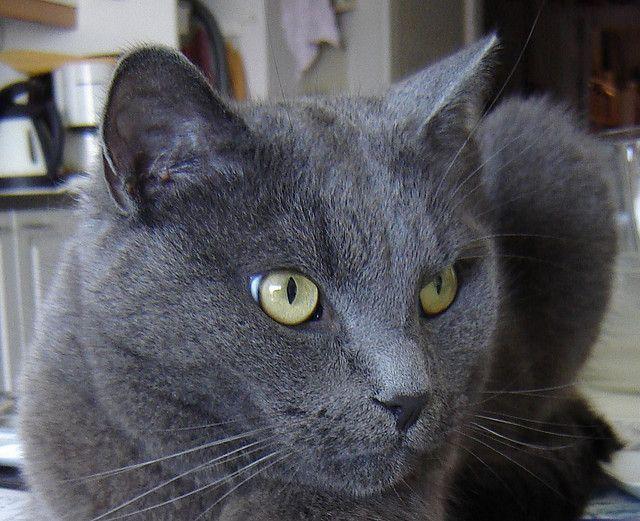 Nestor Burma, a grey cat. Over 3000 views   Cats - looks ...