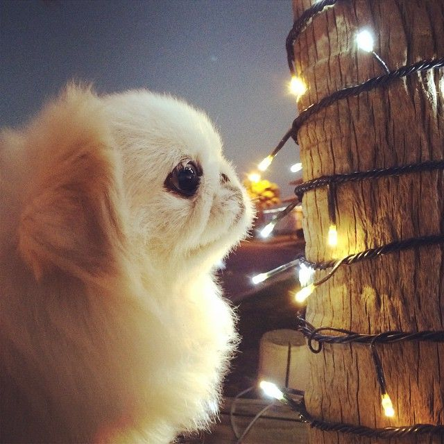 Pekingese: Look at those lights!
