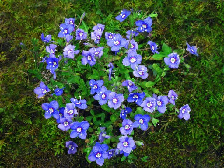 FLORA austria | Pflanze von oben | Felsen-Ehrenpreis | Flora | Natur im Austria-Forum