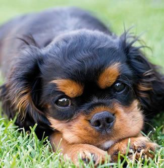 Cavalier King Charles Spaniel - black and tan
