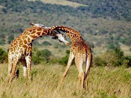 African Safari with Giraffes Fighting