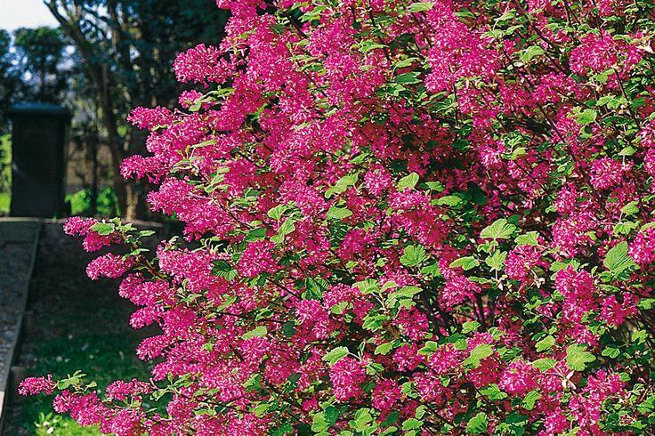 Pflanzen für Hecken Garten Pinterest - gartenstraucher immergrun winterhart