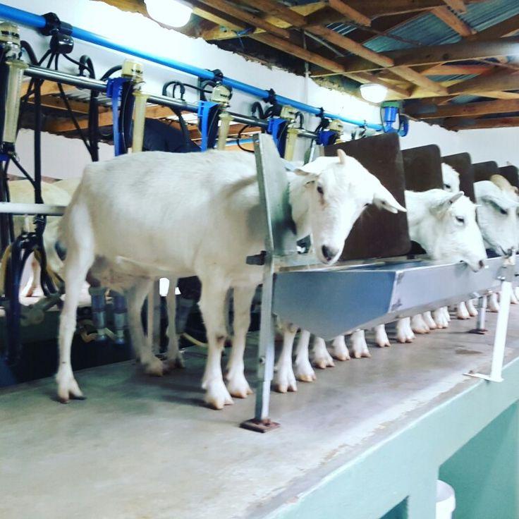 Goat milking at Belnori Boutique Cheesery #hazelfoodmarket