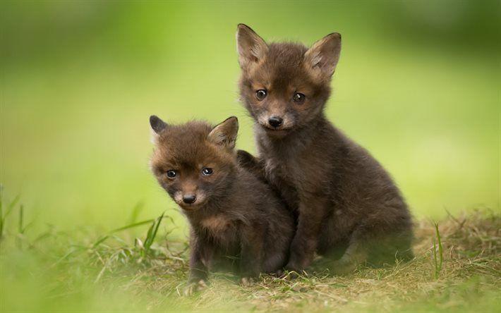 Lataa kuva Pienet ketut, vihreä ruoho, pienet eläimet, kettuja, söpöjä eläimiä