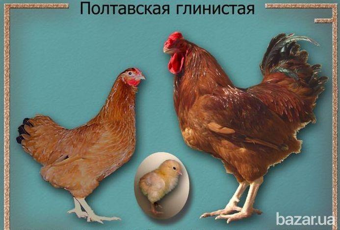 Полтавская глинистая Порода создана на территории Украины, предположительно, с использованием аборигенных кур и породы орпингтон. Птица...