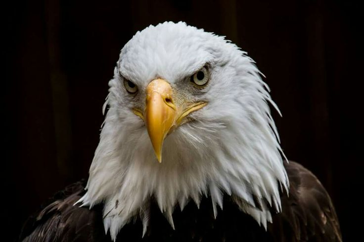 Bald Eagle at cotswold falconry centre
