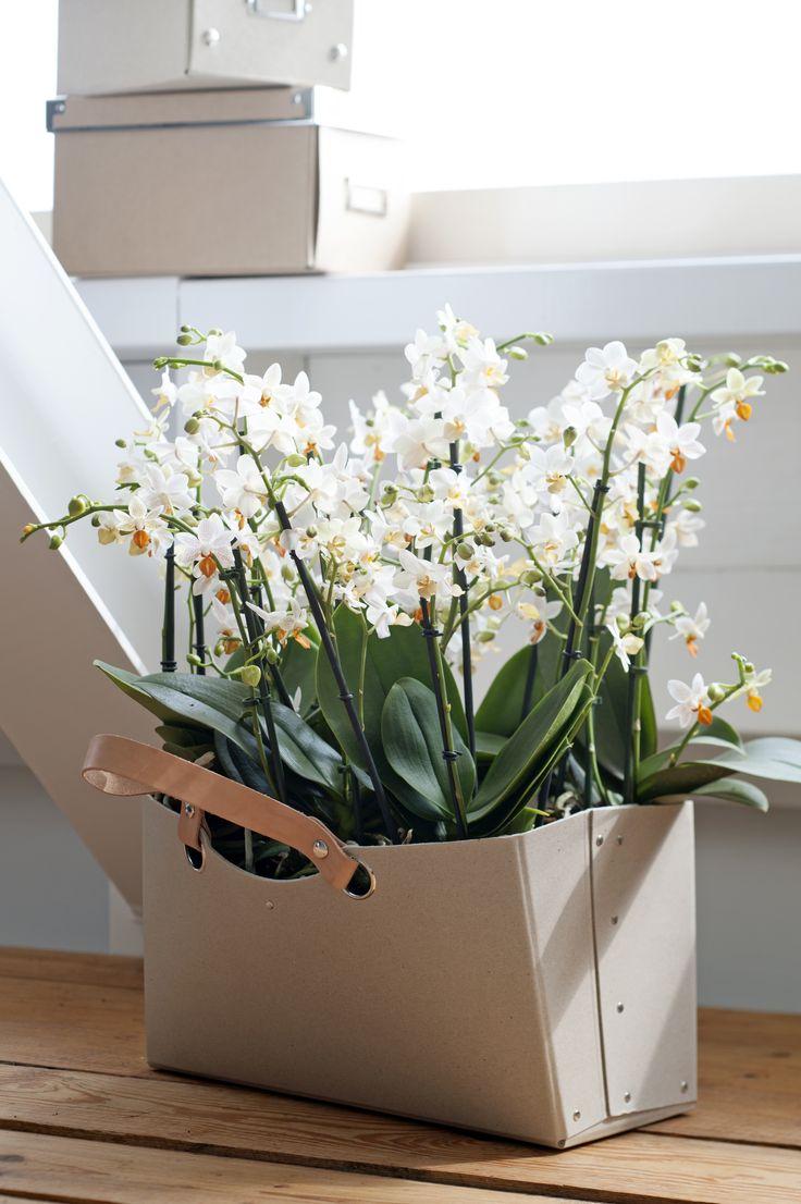 Phalaenopsis is Woonplant van december! Lees alles over deze plant op: http://www.mooiwatplantendoen.nl/phalaenopsis #mooiwatplantendoen.nl #Phalaenopsis #woonplant