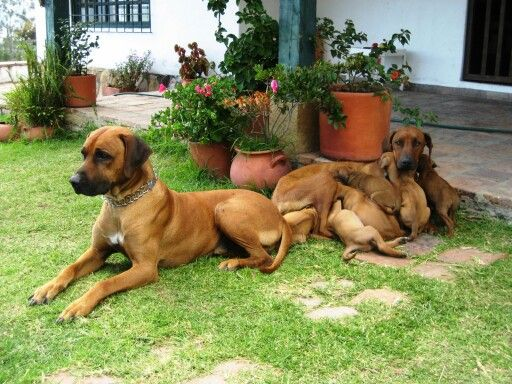 Rhodesian ridgeback family