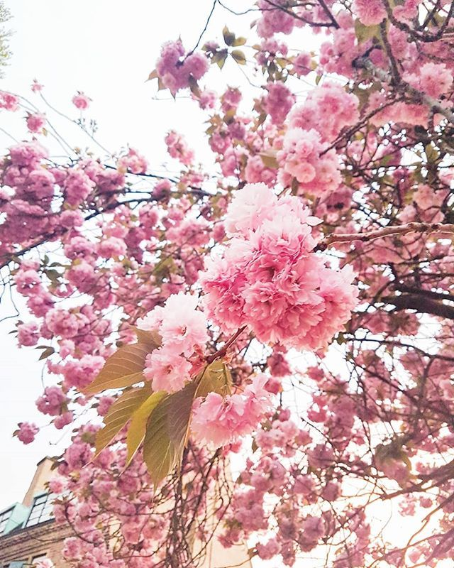 I Can T Believe Cherry Blossom Season Is Almost Over Already I Feel Like Spring Came Early This Year Esp Cherry Blossom Season Spring Is Coming Cherry Blossom