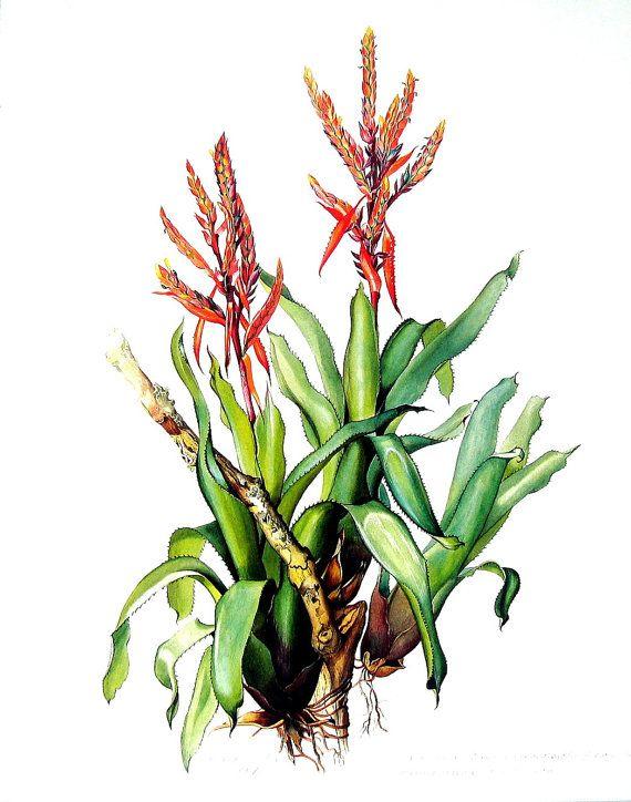 Exotic Bromeliad Print - Aechmea tillandsioides - Margaret Mee 1989 Vintage Book Page
