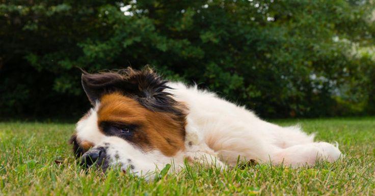 Los mejores tipos de césped para los perros