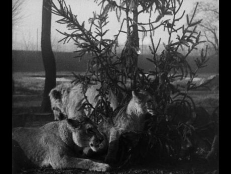 Christmas in ZOO  Gwiazdka w ZOO. Co lwy znalazły pod choinką? [video]  (REPOZYTORIUM CYFROWE FILMOTEKI NARODOWEJ) #repozytoriumcyfrowe,  #puppies, #cutepuppies, #christmas, #zoo